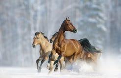 Άλογα που οργανώνονται σε άγρια περιοχές Στοκ Εικόνες