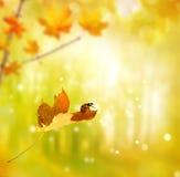 在秋天叶子的瓢虫 免版税图库摄影