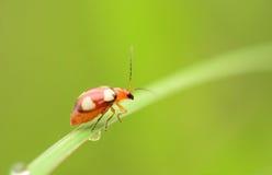 Μικρό έντομο Στοκ Φωτογραφίες