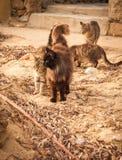 在海滩的猫,米科诺斯,希腊 图库摄影