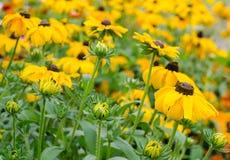 黄色春黄菊在夏季的家庭菜园开花 库存照片