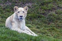 白色狮子注视 库存图片