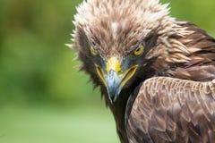 站起来接近的老鹰题头的立场 库存图片