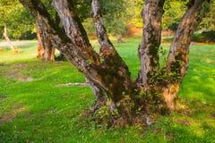 一棵老树的树干 图库摄影