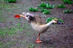Танцы утки Стоковая Фотография RF