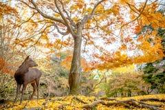 鹿在奈良,日本自由地住 库存图片