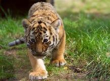 当幼童军逗人喜爱的西伯利亚老虎 免版税库存图片