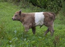被围绕的盖洛韦小牛 免版税库存照片