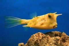 рыбы коровы Стоковые Фотографии RF