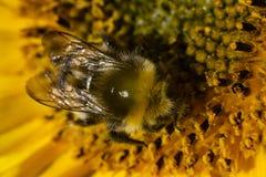 在向日葵的土蜂 免版税库存照片