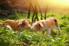 使用互相的逗人喜爱的小猪在仓前空地 免版税库存图片