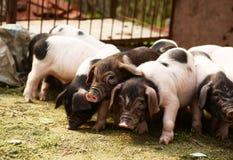 寻找食物的小猪 免版税库存图片
