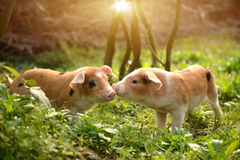 使用互相的逗人喜爱的小猪在仓前空地 库存照片