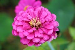 百日菊属花在庭院里 免版税库存图片