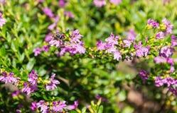 在花的行动蜂 免版税库存图片