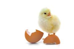 逗人喜爱的小鸡一点 库存照片
