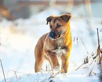 在雪的幼小小狗在冬天 免版税库存照片