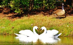 心脏形状天鹅 免版税库存照片
