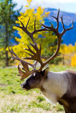 Карибу (северный олень) в территориях Юкона, Канаде Стоковые Изображения