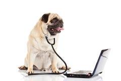 在白色背景滑稽的医生隔绝的哈巴狗狗 库存图片