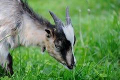 山羊在草甸 图库摄影