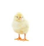 逗人喜爱的小鸡一点 图库摄影