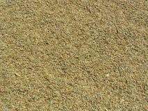 大麦植入背景 免版税库存图片