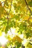 太阳光芒在染黄的秋叶中的 免版税图库摄影