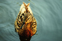 Заплывание утки в холодном пруде Стоковая Фотография