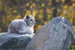 Αρσενική αρκτική αλεπού Στοκ εικόνες με δικαίωμα ελεύθερης χρήσης