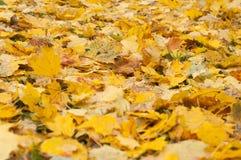 Το έδαφος που καλύπτεται με τα κίτρινα φύλλα σφενδάμου υγρά μετά από τη βροχή, στενός επάνω Στοκ Φωτογραφία