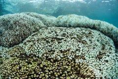 Колонии коралла отбеливания в Индонезии Стоковое Изображение RF