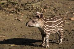 危险的南美貘的婴孩 免版税库存照片
