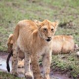 幼小雌狮 免版税库存图片