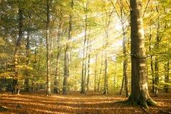 秋天与太阳光芒和五颜六色的秋叶的森林风景 免版税库存图片