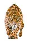 在白色隔绝的野生捷豹汽车猫 免版税库存照片