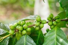 关闭绿色咖啡豆 免版税库存照片