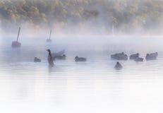 鸭子群在有薄雾,似梦幻般的水早黎明的 五颜六色的秋天森林在背景中 库存照片