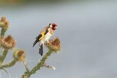 吃种子的欧洲金翅雀 免版税库存照片