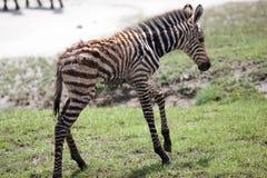 与它的母亲的新出生的小斑马 免版税库存照片