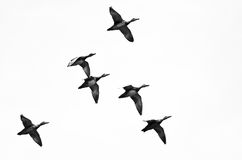 飞行在白色背景的鸭子群  免版税图库摄影