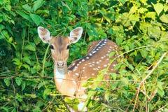 被察觉的鹿 免版税库存图片