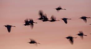 在日出的模糊的小白鹭剪影 库存图片
