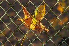 秋季被绘的枫叶 免版税库存照片
