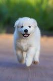 混合品种白色小狗在一个半个月中 免版税库存照片