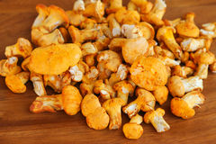 金黄黄蘑菇(黄色蘑菇) 库存照片