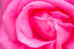 新粉红色玫瑰色花 库存图片
