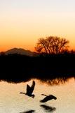 σκιαγραφία χήνων βραδιού Στοκ Εικόνα