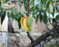 杏仁种子 库存照片