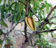 杏仁种子 库存图片